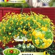 Panselute Curgatoare (Viola) - 180 sem - Seminte flori curgatoare Pansele Curgatoare