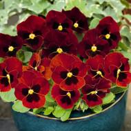 Panselute rosu (0.15 gr) seminte de panselute, flori mici, 25 cm, Horti Tops