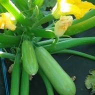 Pascal F1  250 sem - Seminte de dovlecei cu fructe cilindrice de culoare verde deschis si o perioada de vegetatie de 35-40 de zile de la Fito Semillas