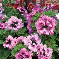 Petunie cu efect curgatoare Superbissima (160 seminte), cu flori mari petunie hibrida, Opal