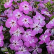 Phlox paniculata Violet Charm Flame (ghiveci 1 l), plante perene cu flori mari purpurii cu centrul alb
