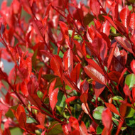 Photinia Little Red Robin (ghiveci 1,5 L), arbust decorativ pitic, frunze rosii, lucioase