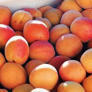 Puiet de cais CMB Ungaria (1 puiet), pom fructifer cais fructe mari, dulci, aromate, Yurta