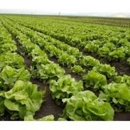 Rivalda - 1000 sem - Seminte drajate de salata de capatana cu o perioada de 50-60 de zile de la plantare ajungand la o greutate medie de 400-600 grame ce nu emite tija florala de la Rijk Zwaan