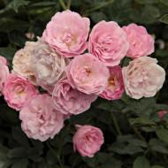 Rosa Mini Pink (ghiveci 1,5 l), trandafir pitic cu flori roz delicate