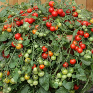 Rosii Bajaja (0.5 grame), seminte de rosii tip cherry pentru balcon, Kertimag