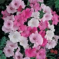 Salvie - Seminte Flori Salvia Planta Anuala de la Florian