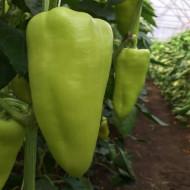 Seminte ardei Octavia (100 seminte), fructe mari, Capsico