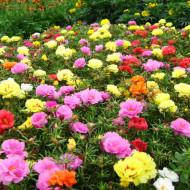 Seminte Flori de Piatra Dublu Mix (0,25 g) seminte flori de piatra dublu mix, Prima Sementi