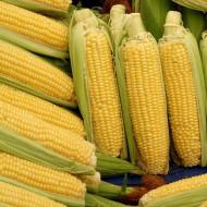Seminte porumb Glikos F1(100.000 seminte), porumb dulce, Hektar