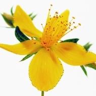 Sunatoare Medicinala (0.2 gr) Seminte Flori Sunatoare de la Florian