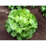 SV 0001 LB - 5000 sem - Seminte de salata tip capatana drajate 3.0-3.5 mm de la Seminis