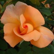Trandafir Beaute(1 butas), trandafir portocaliu, butasi de trandafiri