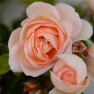 Trandafir Caressa (1 butas), trandafir roz, butasi de trandafiri