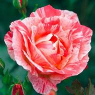 Trandafir Grimaldi (1 butas), trandafir polyanthe cu flori bogate, roz, butasi de trandafiri