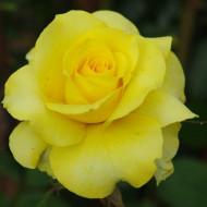 Trandafir Limelight (1 butas), trandafir galben, butasi de trandafiri