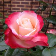 Trandafir Nostalgie (1 butas in ghiveci 2 l) cu flori renumite pentru contrastul incredibil intre alb si roz aprins, butasi de trandafiri Tantau