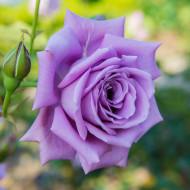 Trandafir Tamacht (1 butas), culoarea lavandei, butasi de trandafiri