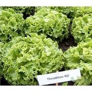 Triathlon - 5000 sem - Seminte de salata pentru cultivarea pe perioada verii deoarece nu emite tija florala cu un foliaj crocant si foarte fin de la Rijk Zwaan