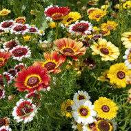 Tufanica mix (0,8 g), seminte crizanteme amestec culori stralucitoare, Agrosem