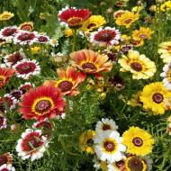 Tufanica mix (0,8 g), seminte de crizanteme intr-un amestec de culori stralucitoare, Agrosem