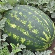 Varda F1 (1000 seminte) pepene verde tip Crimson fruct oval 10-15 kg productiv de la Hazera
