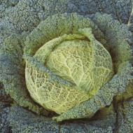 Varza creata Vertus (500 seminte) de varza creata soi tardiv, Agrosem