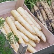 White Satin F1 - 25.000 sem - Seminte de morcovi colorati (calibru seminte < 2.0 mm) tip Nantes de culoare alba cu radacina lunga neteda si subtire de la Bejo