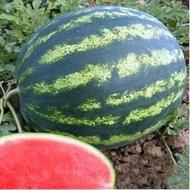 Youlie - 500 sem - Seminte de pepene verde tip crimson 8- 12 kg timpuriu productie foarte ridicata de la Nunhems