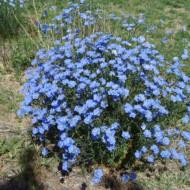 In decorativ albastru (0.7 grame) seminte de flori de in, decorative, Agrosem