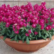 Mixandre rosii (0.15 grame) seminte de flori parfumate rosii, Agrosem