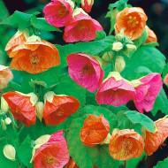 Abutilon Hybridum Mix (130 seminte) floarea artar Serie Lux, Florian