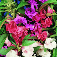 Balsamina mix (0.8 g) seminte de flori balsamina mix (Sporul casei sau Impatiens), Agrosem
