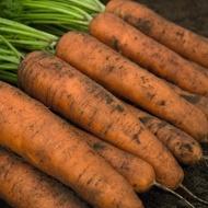 Belgrado F1 - 25.000 sem - Seminte de morcovi tip Berlicum ( calibru seminte > 2.0 mm) ce are o perioada de vegetatie de 110 zile de la semanare de la Bejo