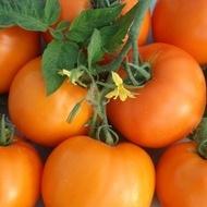 Bendida F1 – 250 sem – Seminte Tomate Bendida Semitimpurii culoare portocaliu intens de la Geosem