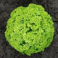 Biondonna - 5000 sem - Seminte de salata ce se preteaza a fi cultivata pe toata perioada anului cu frunze crete si crocante de un verde deschis de la Bejo