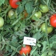 Bobcat F1 (1000 seminte), rosii timpurii cu crestere determinata, Syngenta