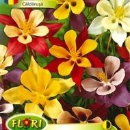 Caldarusa Mix - Seminte Flori Caldarusa de la Florian