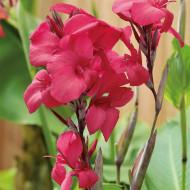 Canna Empire (1 bulb), floare exotica mare, culoare rosu stralucitor, bulbi de flori