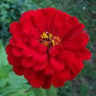 Carciumarese mari rosii (100 seminte) de flori carciumareasa rosie