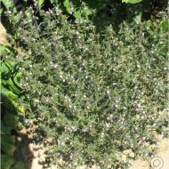 Cimbru - 10 gr - Seminte de Cimbru de la Agrosem