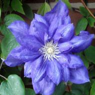 Clematite Beauty of Worcester (ghiveci 2 L), tufa ornamentala cataratoare Clematis, flori simple si duble, albastrui-violet