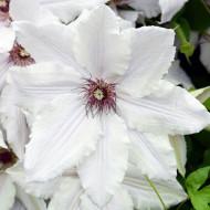 Clematite Snow Queen (ghiveci 2 L), tufa ornamentala cataratoare Clematis, flori mari, albe