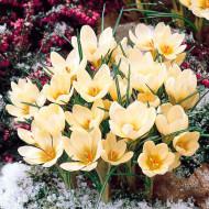 Cream Beauty (25 bulbi), branduse petale crem, bulbi de flori