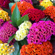 Creasta Cocosului - Celosia argentea (0,7 g), seminte de flori colorate in galben, roz, auriu, portocaliu, rosu, Opal