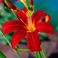 Crin Hemerocallis Crimson Pirate (ghiveci 1,5 L), crin de o zi cu flori mari, culoare rosu-purpuriu stralucitor