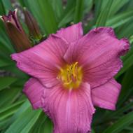 Crin Hemerocallis Purple Flight (ghiveci 1,5 L), crin de o zi cu flori visiniu cu galben