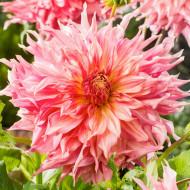 Dalie Penhill Watermelon (1 bulb), floare mare de culoare roz-coral, cu petale lungi si rasucite, bulbi de flori