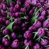 Deep Purple (8 bulbi), lalele mov, bulbi de flori