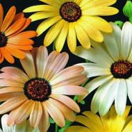 Dimorfoteca mix (0,4 g), seminte de flori anuale extrem de decorative, intr-un mix de culori de la galben la portocaliu intens, Agrosem